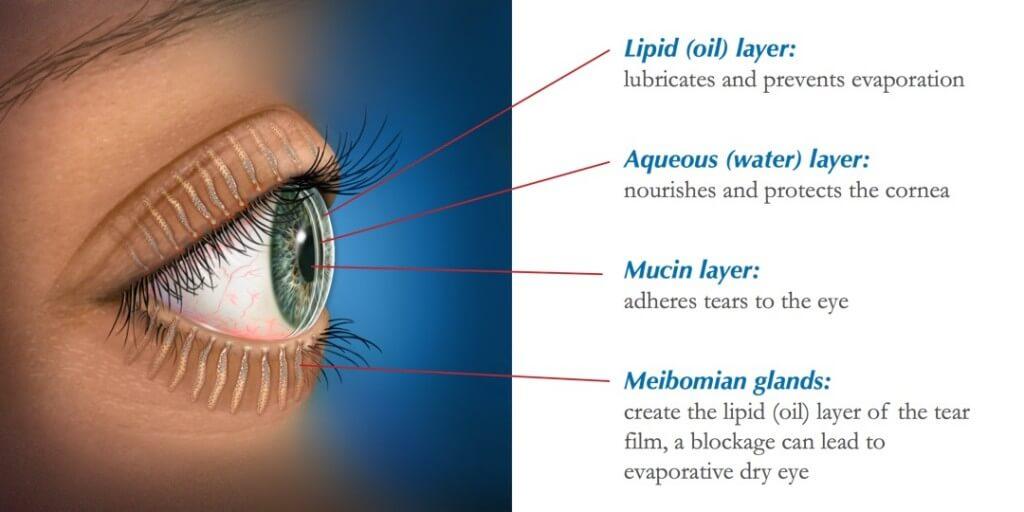 Meibomian Gland Anatomy