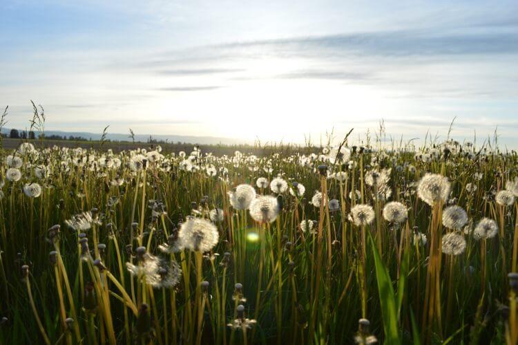 Dandelions - Conjunctivitis Allergen